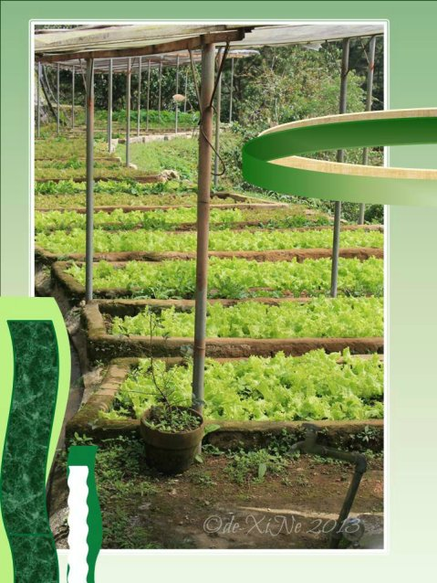 Eve's Garden lettuce field