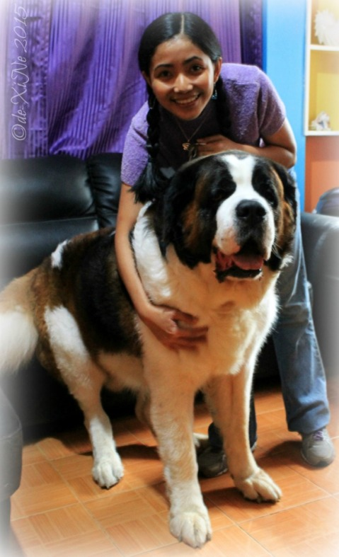 X with Baguio Doglas ORIGINAL CELEBRITY Saint Bernard dog