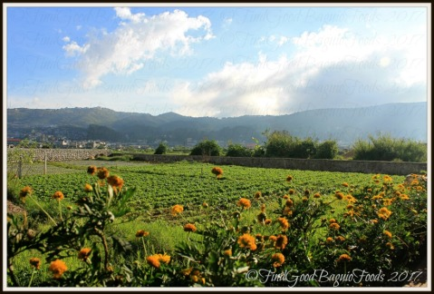 The lettuce field beside La Trinidad metro Baguio Yasuragi Japanese Cuisine